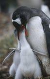 Matande fågelungar för UK Falkland Islands Gentoo Penguin Royaltyfri Foto