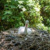 Matande fågelungar för vit stork Royaltyfria Foton