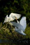 Matande fågelunge för ägretthäger Arkivfoton