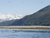 Matande frenesi för vår i sydostliga Alaska Arkivbilder