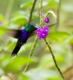 matande gaffel tailed woodnymph Fotografering för Bildbyråer