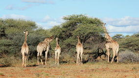 Matande giraff stock video