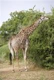 matande giraffbarn Fotografering för Bildbyråer