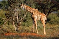 matande giraffbarn Royaltyfria Bilder