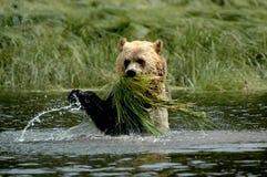 matande grizzly Arkivbild