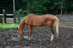 Matande häst på ranchen Royaltyfri Bild