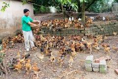 Matande höna för vietnamesisk bonde vid ris Arkivfoton
