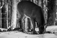 Matande hjortar Arkivbild