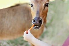 Matande hjortmorot på zoo Royaltyfria Foton