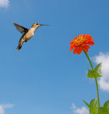 matande hummingbirdruby throated zinnia Royaltyfri Fotografi