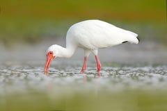 matande ibis white Vit ibis, Eudocimus albus, vit fågel med den röda räkningen i vattnet, matande mat i sjön, Florida, USA Wi Royaltyfri Fotografi