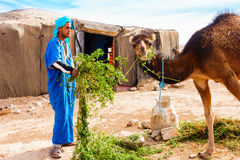 Matande kamel för Berberman i öknen Royaltyfri Foto
