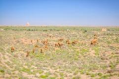 Matande kamel i Merv Royaltyfria Foton