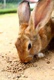 matande kanin Royaltyfri Fotografi