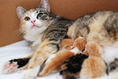 matande kattungar för katt little Royaltyfri Foto