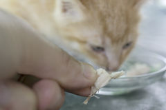 matande kattunge Arkivfoton