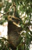 matande koalaleaves för eucalyptus Arkivfoton