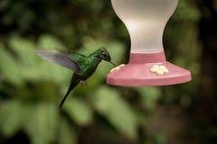 Matande kolibri Arkivfoton