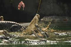 Matande krokodil Royaltyfri Fotografi