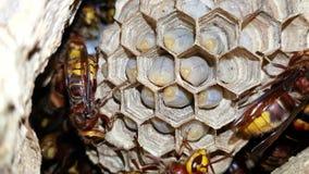 Matande larver för europeisk bålgetingVespacrabro i rede stock video