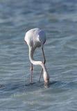 Matande mat för större flamingo i den Arad fjärden Arkivbild
