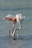 Matande mat för större flamingo i den Arad fjärden under lågvatten Arkivbilder