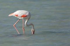 Matande mat för större flamingo i den Arad fjärden under lågvatten Arkivbild