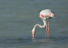 Matande mat för större flamingo i den Arad fjärden under lågvatten Arkivfoto