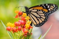 matande monark för fjäril arkivfoto
