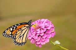 matande monark för härlig fjäril rosa zinnia arkivfoto