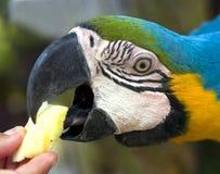 matande papegoja för ara Royaltyfria Bilder