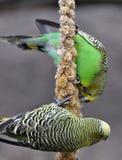 Matande papegojor royaltyfri bild
