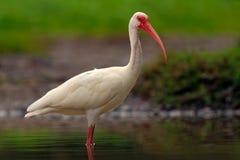 Matande plats i vattenfågeln Vit ibis, Eudocimus albus, vit fågel med den röda räkningen i vattnet, matande mat i sjön, Flo Arkivfoton