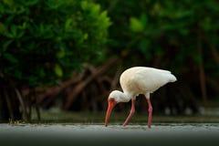 Matande plats med fågeln Vit ibis, Eudocimus albus, vit fågel med den röda räkningen i vattnet, matande mat i sjön, Mexico Skola  Arkivbild
