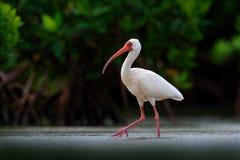 Matande platsfågel Vit ibis, Eudocimus albus, vit fågel med den röda räkningen i vattnet, matande mat i sjön, Mexico Skola göra d Arkivbild