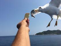 Matande seagulls Royaltyfria Foton