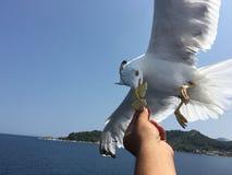 Matande seagulls Arkivfoto