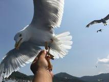 Matande seagulls Arkivfoton
