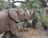 Matande sideview för elefant Royaltyfri Foto