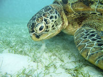 matande sköldpadda Royaltyfria Foton