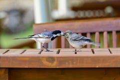 Matande squab för Pied sädesärla Fotografering för Bildbyråer