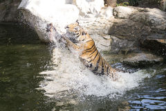 matande tiger Royaltyfri Fotografi