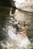 matande tiger Royaltyfria Bilder