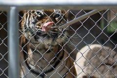 matande tiger Den Captive tigern bak ett staket som äter kött av en gaffel, matade vid en vårdare Royaltyfria Bilder