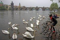 Matande vita svanar för en flicka på den Vltava floden i Prague, Tjeckien Royaltyfria Bilder