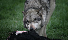 matande wolf Arkivbild