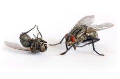 Matanza criminal otra de la mosca mosca Foto de archivo libre de regalías