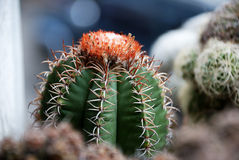 matanzanusmelocactus Royaltyfri Bild