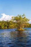 Matapica Tree Stock Image