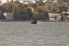 ` Matariki ` Wellington Whale Breach royalty-vrije stock afbeelding